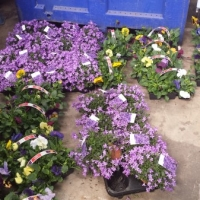 Some of the Flowers Ready for planting.jpg