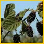 14-Blackberry-Bushes.jpg