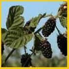 14-Blackberry-Bushes.jpg